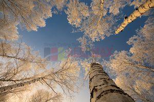 Ağaç - Gökyüzü Gergi Tavan Görselleri 119