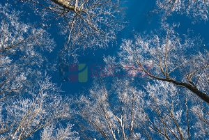 Ağaç - Gökyüzü Gergi Tavan Görselleri 170