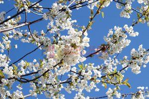 Ağaç - Gökyüzü Gergi Tavan Görselleri 190