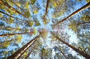 Ağaç - Gökyüzü Gergi Tavan Görselleri 240