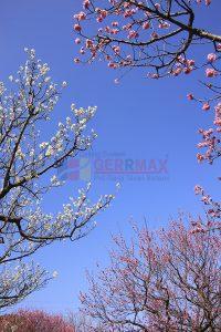 Ağaç - Gökyüzü Gergi Tavan Görselleri 242
