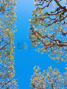 Ağaç - Gökyüzü Gergi Tavan Görselleri 297