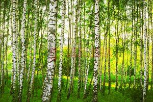 Ağaç - Gökyüzü Gergi Tavan Görselleri 319