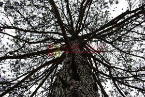 Ağaç - Gökyüzü Gergi Tavan Görselleri 333