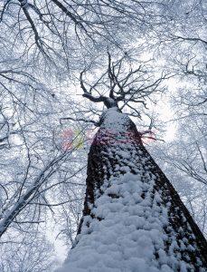 Ağaç - Gökyüzü Gergi Tavan Görselleri 39