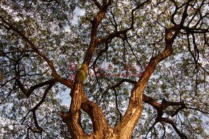 Ağaç - Gökyüzü Gergi Tavan Görselleri 71